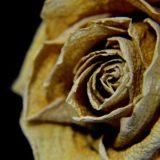 枯れた薔薇の花